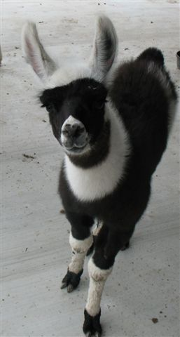 Black and white llama cria.